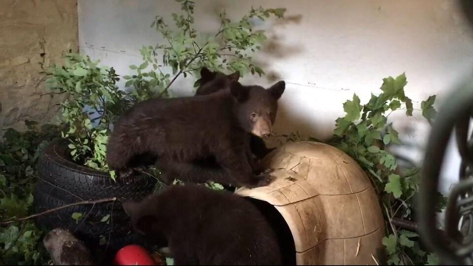 Les trois oursons jouent dans un enclos intérieur.