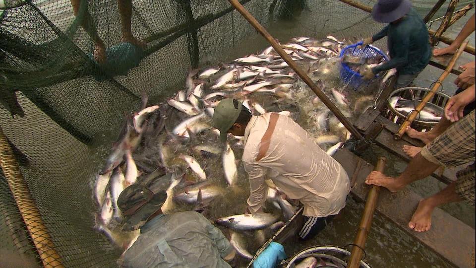 Des poissons dans un filet dans une ferme d'élevage.