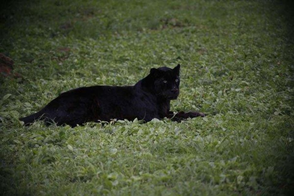 Une panthère noire couchée dans l'herbe