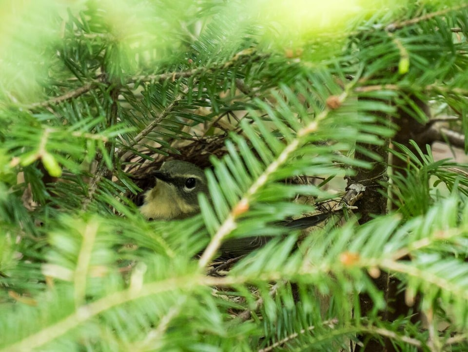 Une paruline à tête cendrée dans son nid, cachée par le feuillage.