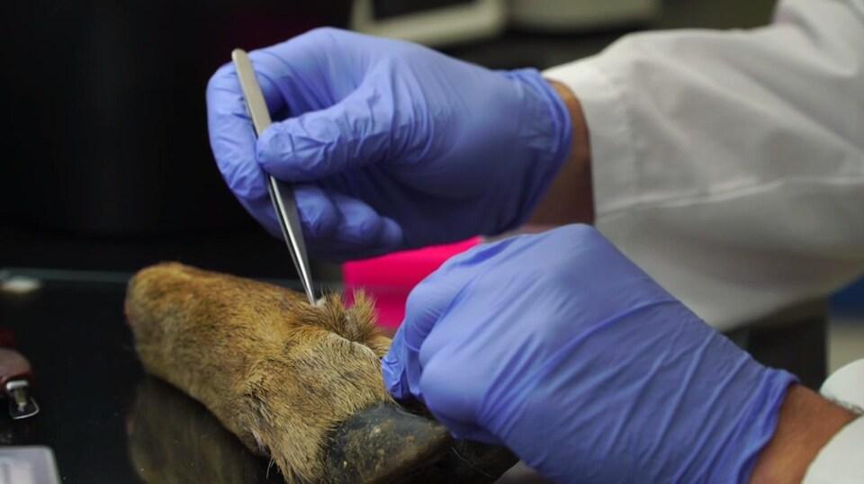 On voit en gros plan une patte de cervidé déposée sur la table d'un laboratoire. Des mains gantées en prélèvent un bout à l'aide de pincettes.