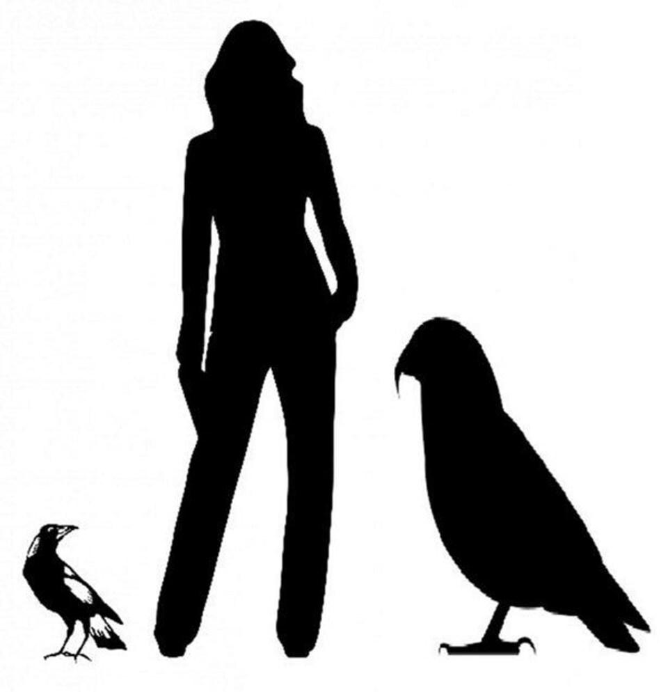 Dessin montrant la taille du perroquet, celle d'un corbeau, et celle d'un humain.