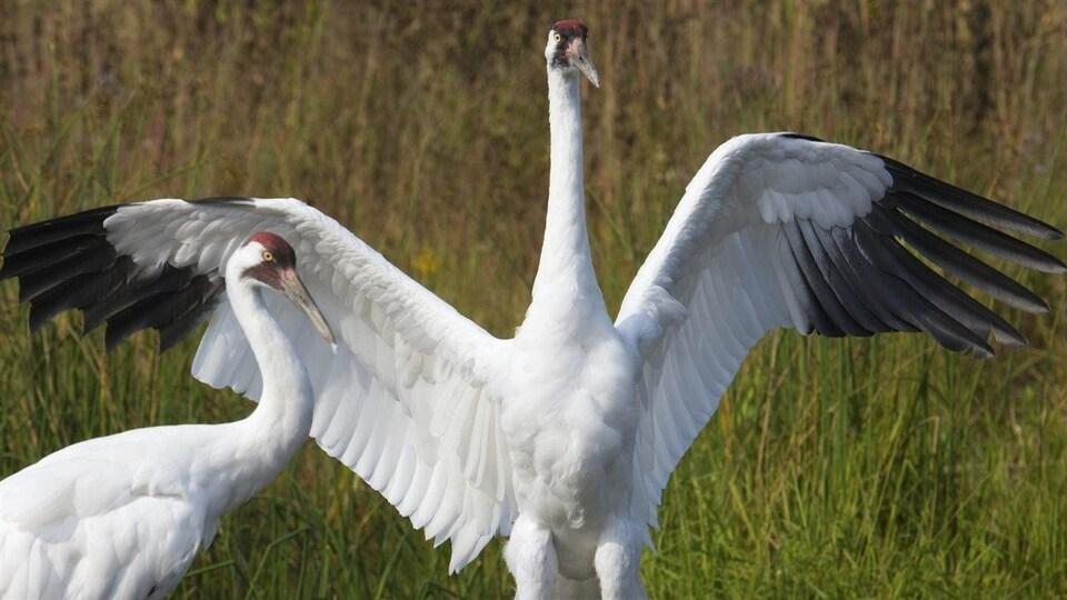 Deux grues blanches ouvrent leurs ailes.