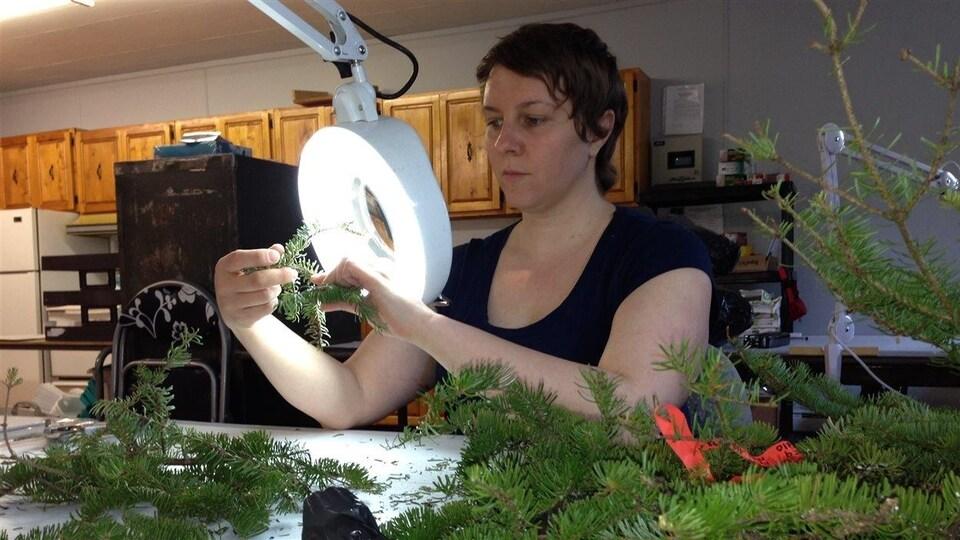 Technicienne forestière qui examine les épines des épinettes pour vérifier si elles sont infestées.
