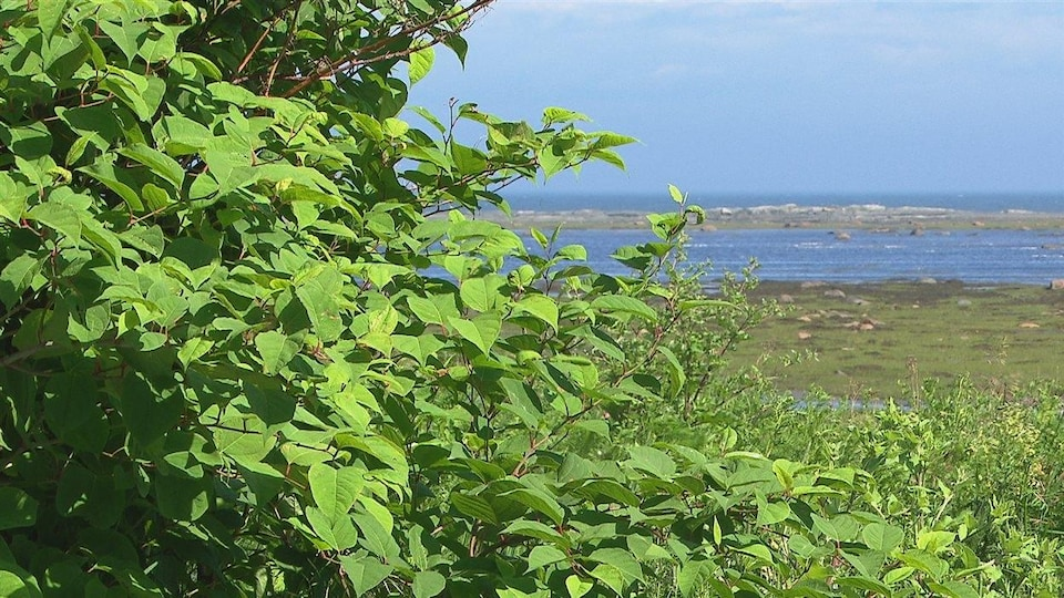 Un plant de renouée du Japon près d'un cours d'eau.