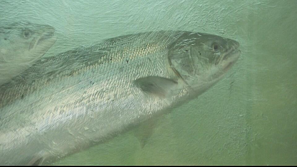 Saumons vigoureux dans la passe migratoire de la rivière Matane