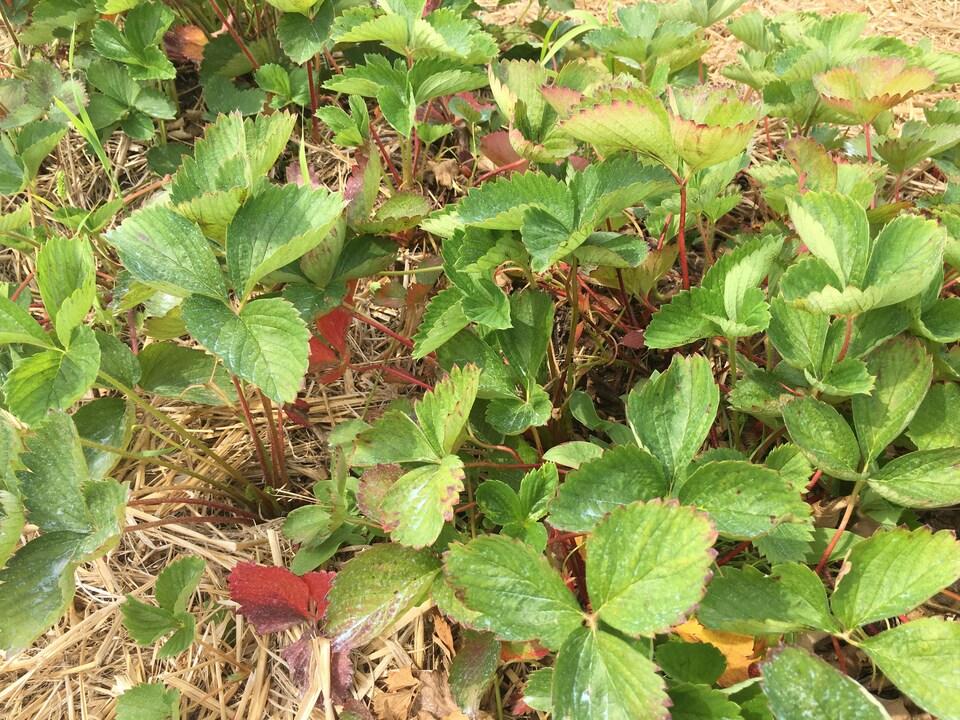 Un champ de fraises où la récolte s'est terminée une semaine plus tôt que prévu en raison du manque de pluie