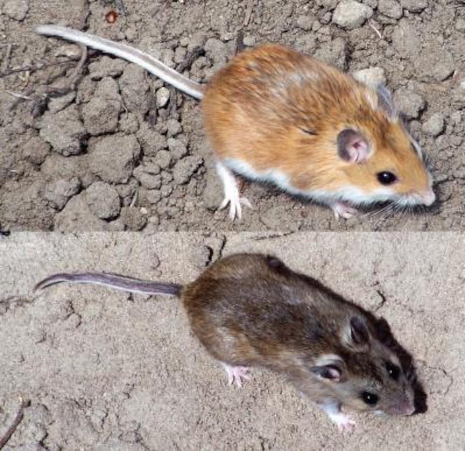 En raison de la sélection naturelle, les souris vivant sur les sols pâles des dunes de sable sont plus pâles (en haut) que les souris des zones environnantes plus sombres (en bas).