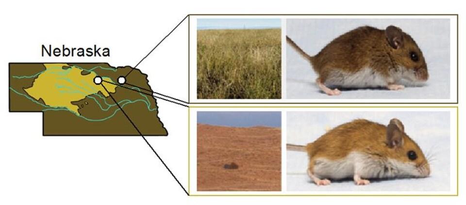 Carte montrant l'habitat naturel des souris selon les couleurs de leurs manteaux.