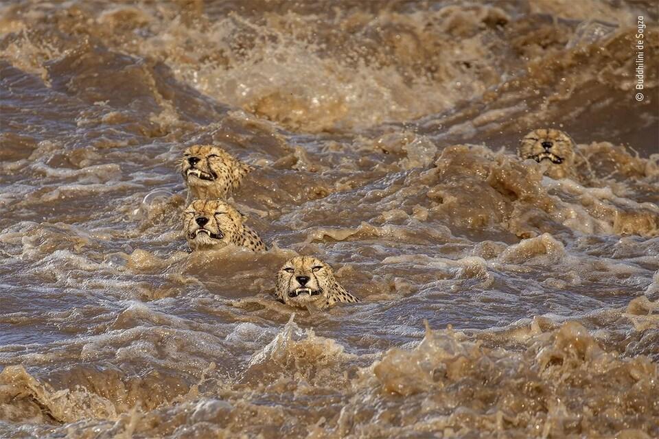 Quatre guépards tentent de traverser un cours d'eau agité et boueux.