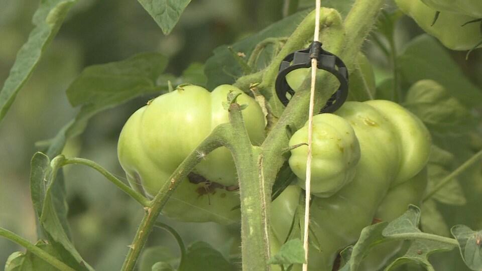 Gros plan sur des tomates pas encore mûres dans une serre. Elles sont attachées à une tige.