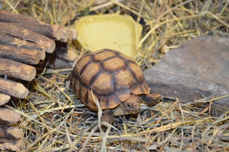Une tortue sur de la paille.