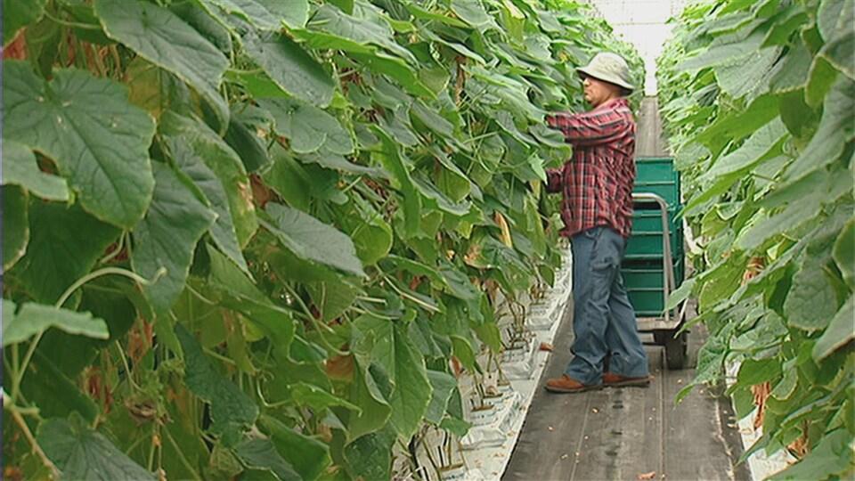 Un homme habillé pour travailler est debout dans une allée avec des bac pour y ranger les légumes derrière lui. Il a les bras dans les feuilles pour cueillir un concombre.