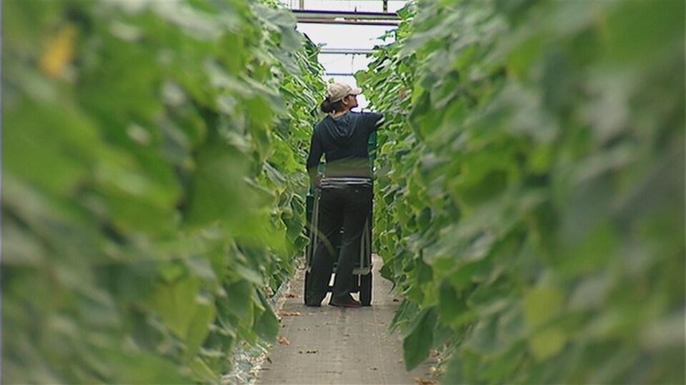 On voit de loin dans une allée de serre une femme entrain de cueillir des légumes.