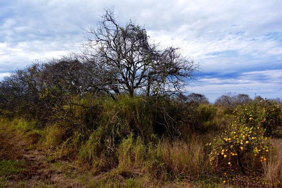 Des vergers d'agrumes décimés par la maladie du dragon jaune