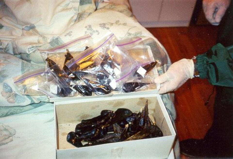 Des vésicules biliaires dans une boîte à chaussures.