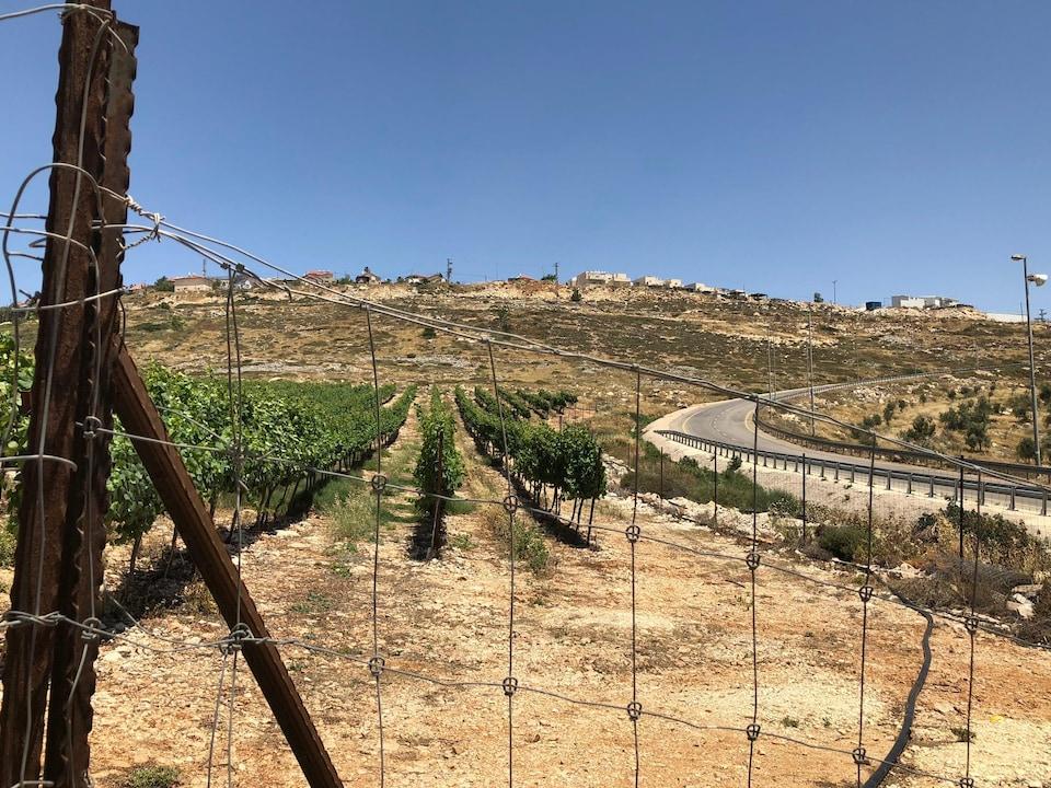 Derrière une clôture, des vignes
