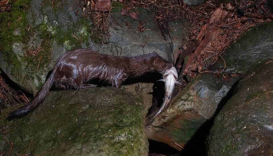 Le vison d'Amérique, au sortir du lac, avec un poisson dans sa gueule.