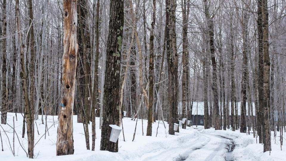 Une cabane à sucre traditionnelle, avec des érables entaillés et de la neige sur le sol