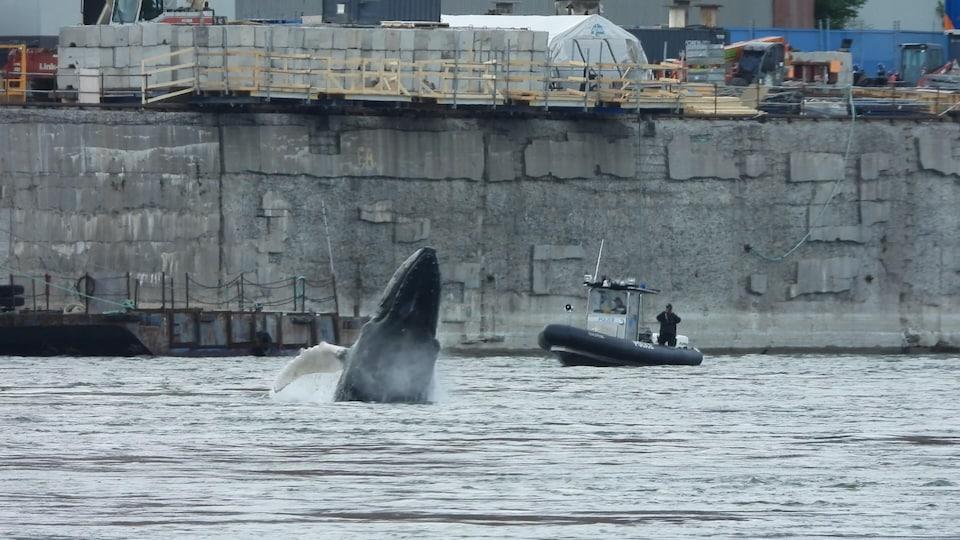 Un rorqual à bosse saute hors de l'eau à Montréal.