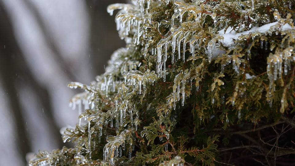 Les branches verglacées d'un sapin