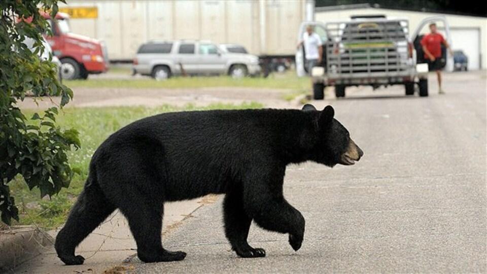 Un ours noir qui traverse une rue