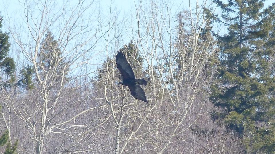 Un aigle royal est en plein vol. Il se trouve à la hauteur des sapins et des bouleaux qui l'entourent dans une forêt. Ses ailes sont longuement déployées.