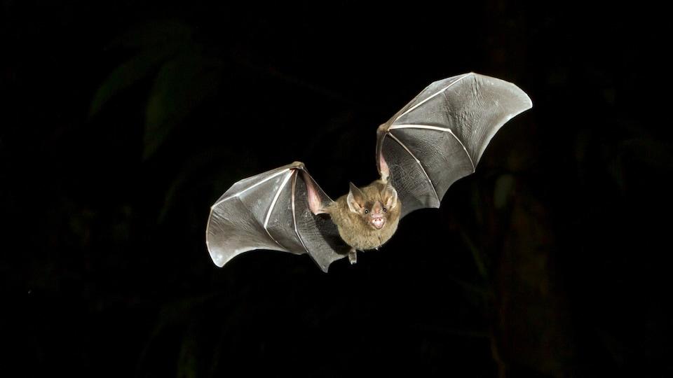 Une chauve-souris en plein vol, la nuit.