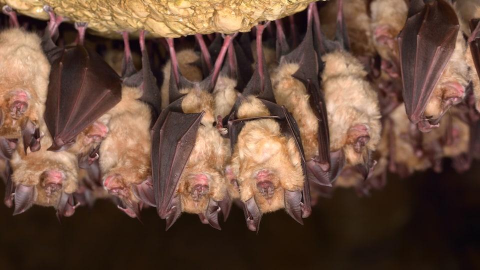 Des chauves-souris dorment dans une cave.