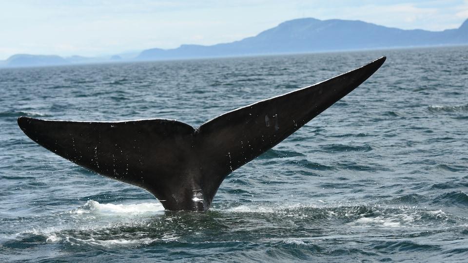 En voie d'extinction au milieu du XXe siècle à cause de la chasse, le rorqual noir reste une espèce menacée.