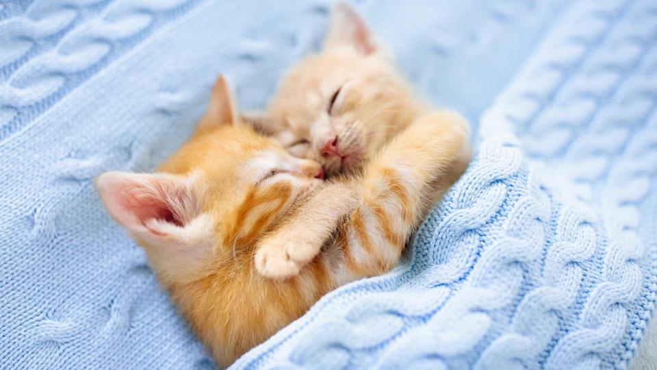 Des bébés chats qui dorment dans une couverture.