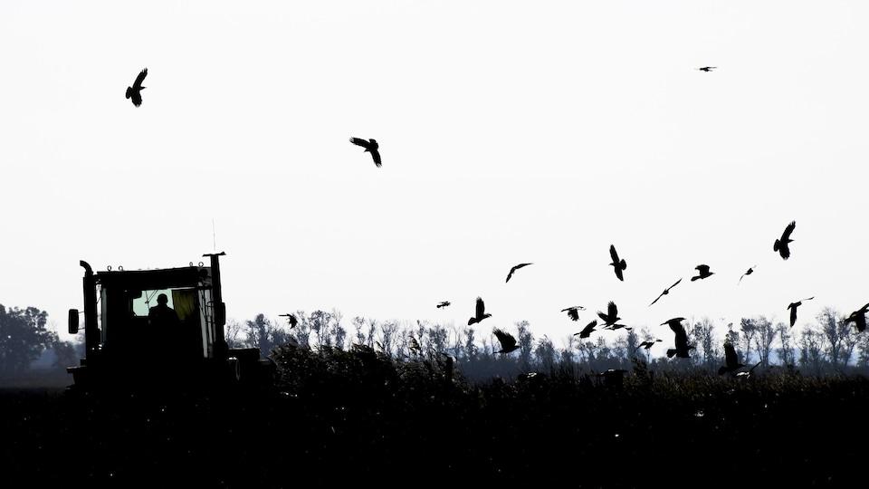 Silhouettes d'un tracteur dans un champ survolé de plusieurs corbeaux.