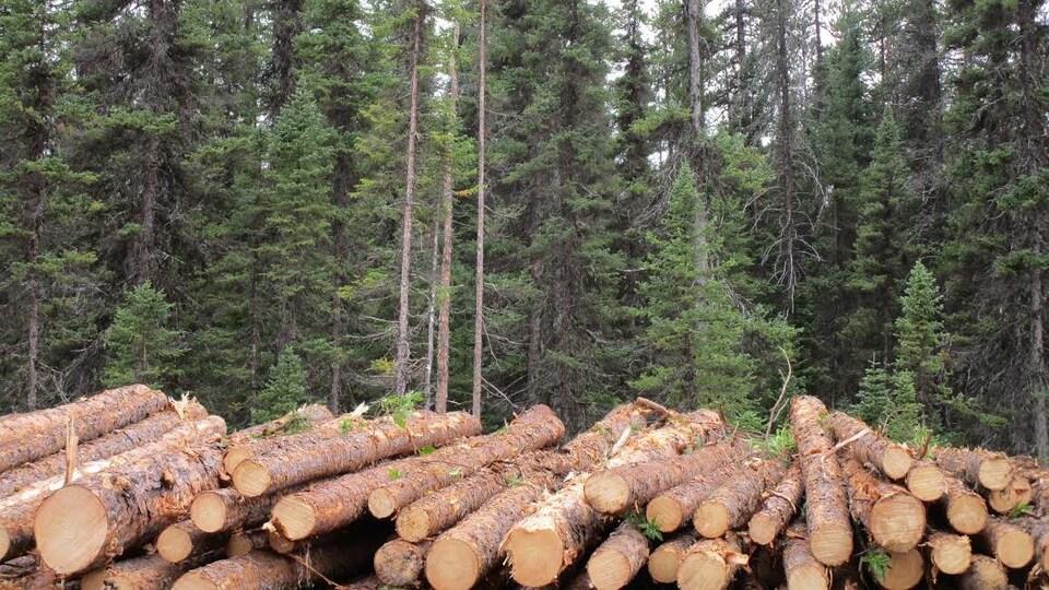 Des troncs d'épinettes coupés au pied d'une forêt.
