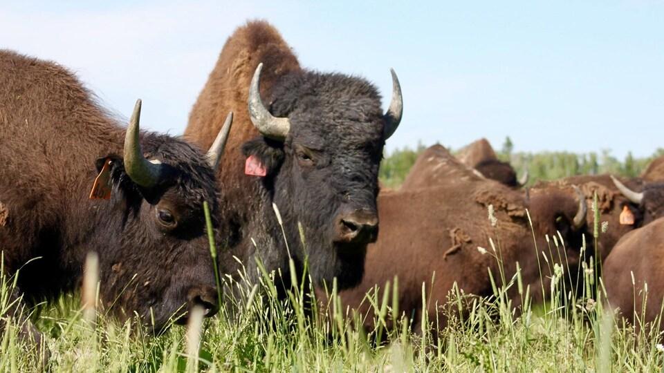 Des bisons broutant de l'herbe.