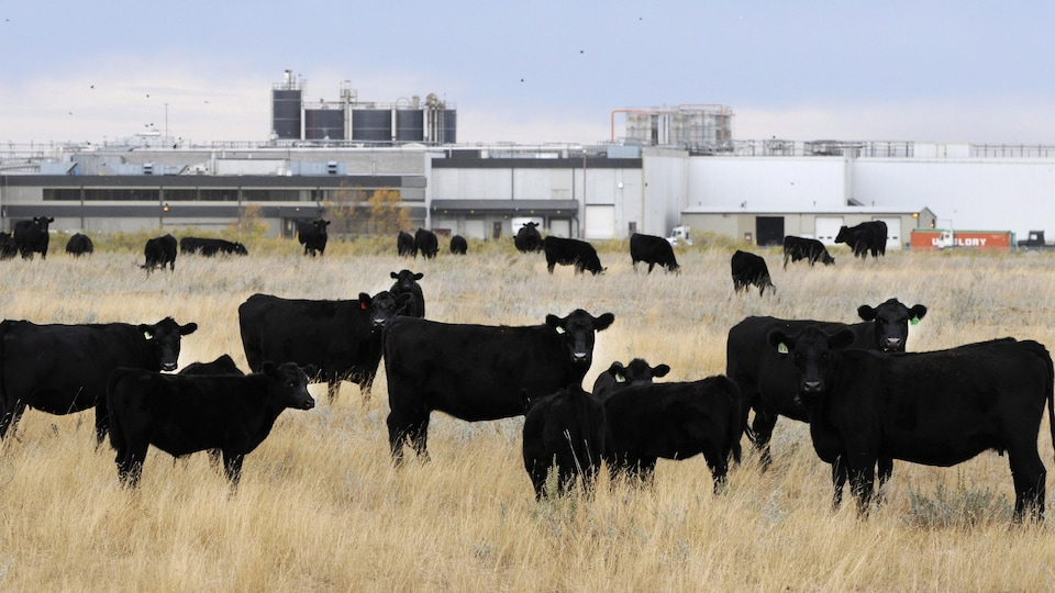 Un bétail bovin en pâture près d'une usine de transformation alimentaire à Brooks en Alberta.