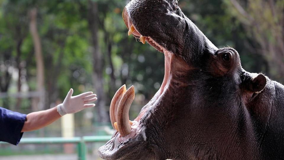 Une main gantée de blanc s'approche de la gueule d'un hippopotame.