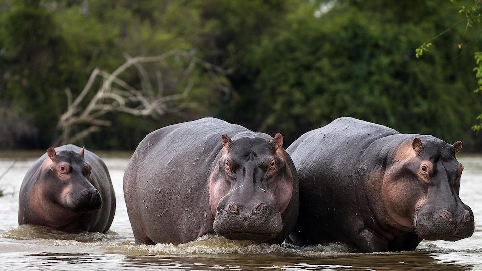 Trois hippopotames sont dans l'eau.