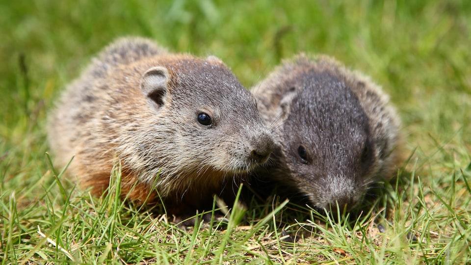 Deux marmottes sont sur l'herbe.