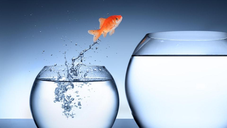 Un poisson rouge saute dans un plus grand bol.