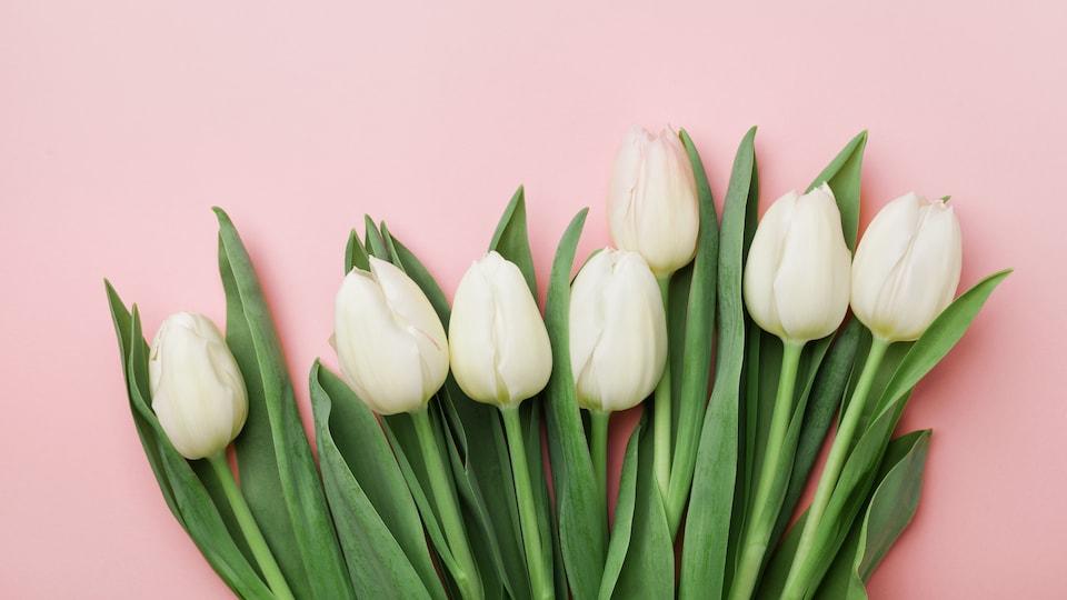 Un bouquet de tulipes blanches coupées sur fond rose
