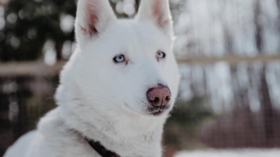 Un husky sibérien.