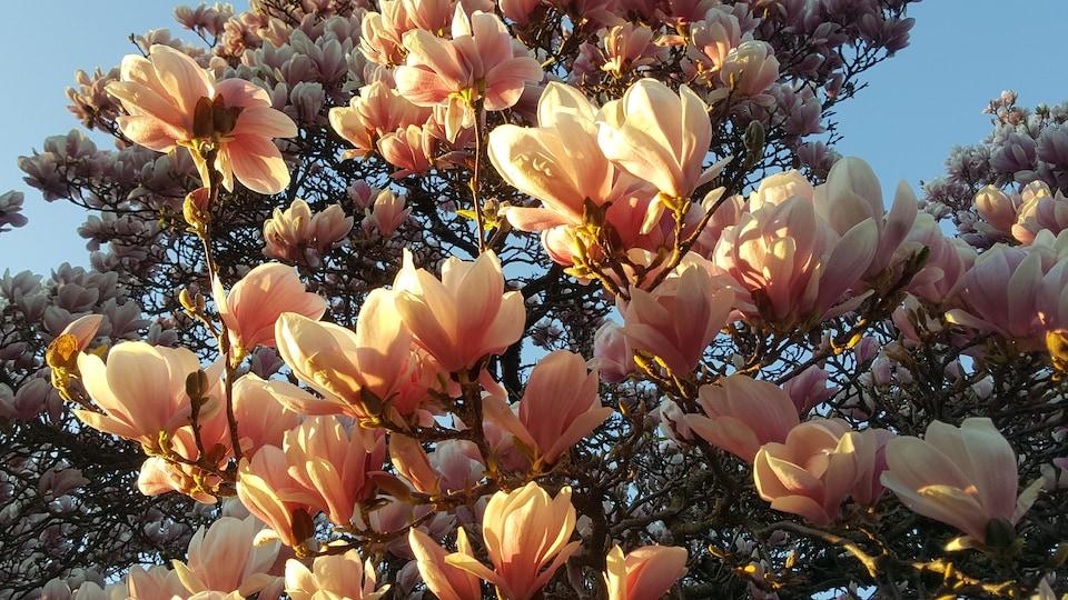 Un magnolia en fleur.