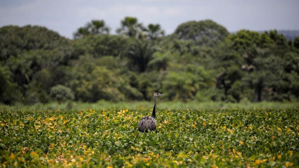 Un oiseau dans un champ de soja.