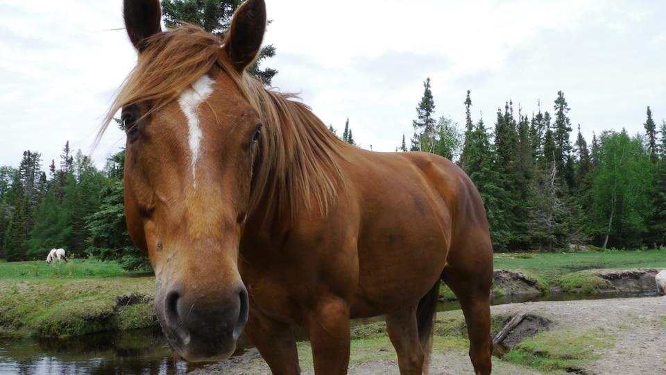 Un cheval marron avec une tâche blanche sur le front.