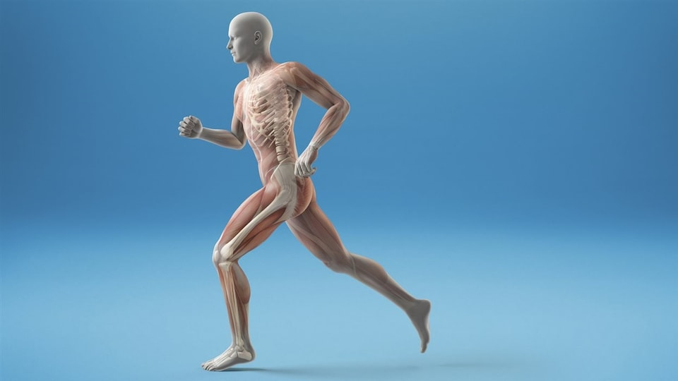 Modélisation d'un corps humain en mouvement, on voit la musculature et une partie du squelette