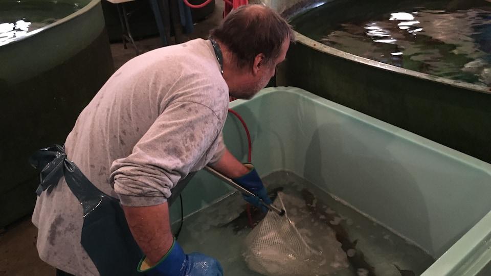 François Lavigne, technicien en aquaculture au CTSS, capture les ombles de fontaine en vue de récolter leur sperme