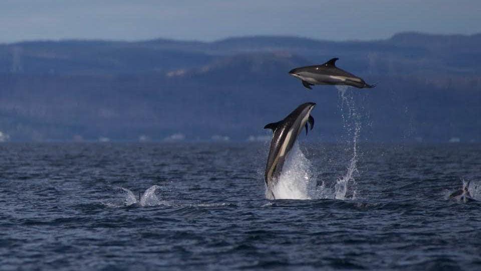 Des dauphins à flanc blanc sautent dans le golfe du Saint-Laurent.