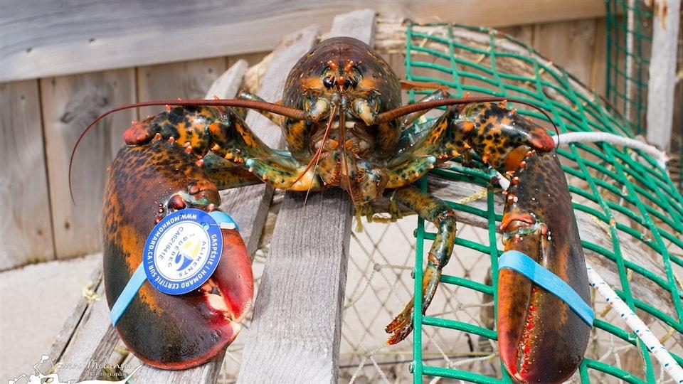 Un homard sur une cage de pêche
