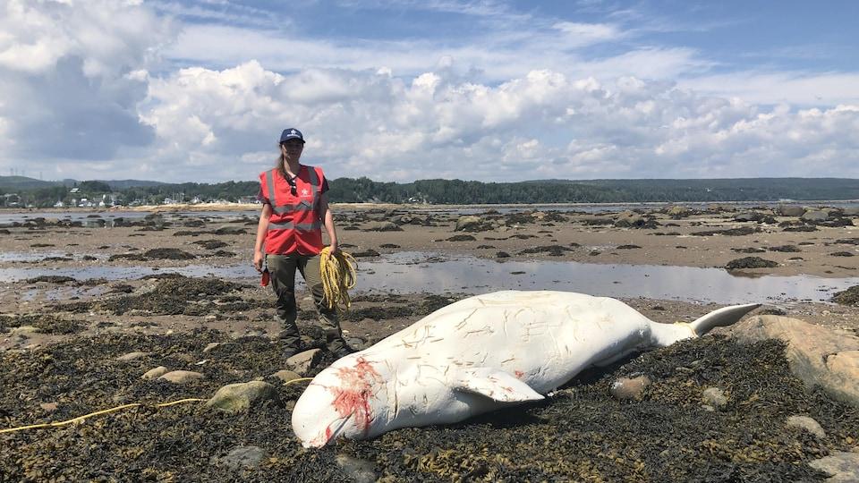 Médulline Chailloux du Réseau québécois d'urgences pour les mammifères marins, sécurise la carcasse de béluga retrouvée aux Escoumins début juillet.