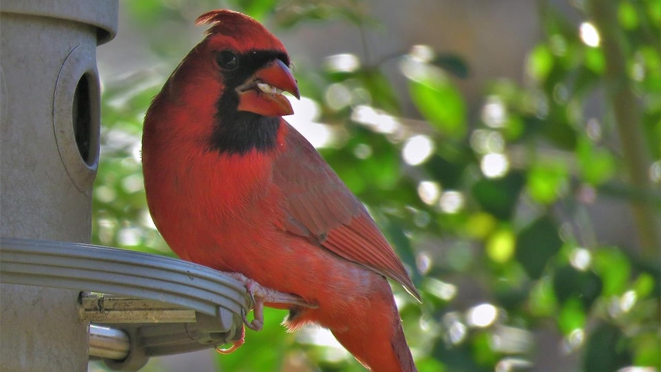 Un cardinal rouge, un oiseau nicheur du Québec, sur une mangeoire